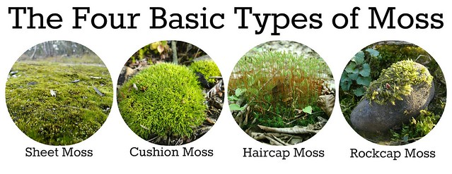 The Four Basic Types of Moss: Sheet Moss, Cushion Moss, Haircap Moss, and Rockcap Moss