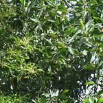 Acacia auriculiformis vs Acacia mangium leaves