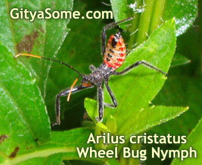 Arilus cristatus, Wheel Bug, Assassin Bug Nymph