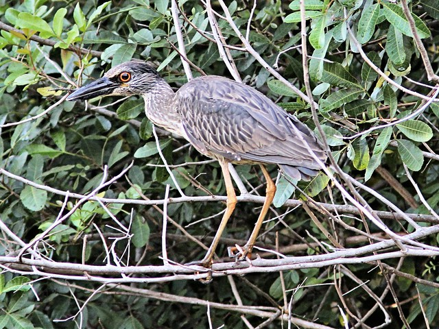 Yellow-crowned Night-Heron immature 20130416