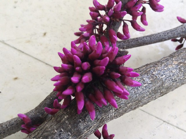 redbud branches