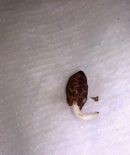 Ipomoea nil seedling by Gerris2