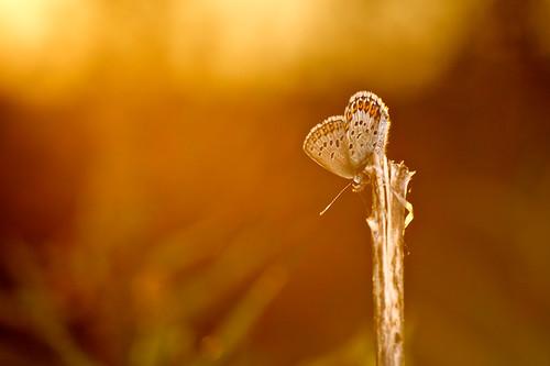 blue sunset sun macro nature closeup backlight butterfly insect flash bracket lepidoptera 28 105 softbox perhonen idas kiron insecta lycaenidae 105mmf28 northernblue lumiquest 10528 perhoset plebejusidas ketosinisiipi sinisiipiset hyönteiset wimberleyf2