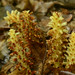 Small photo of American Cancer Root (Conopholis americana)