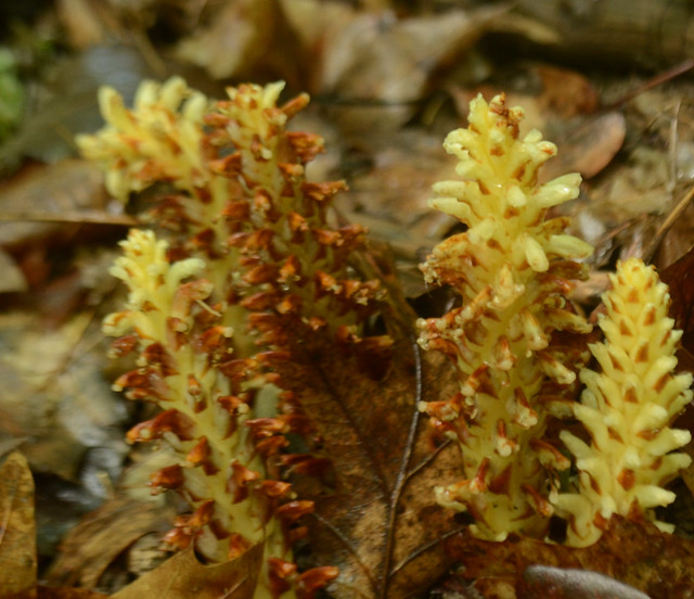 Header of Conopholis americana