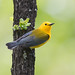 Prothonotary warbler by Corey Hayes