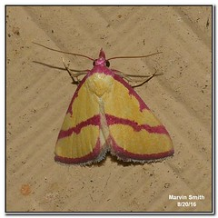 Ernestine's Moth (Phytometra ernestinana)