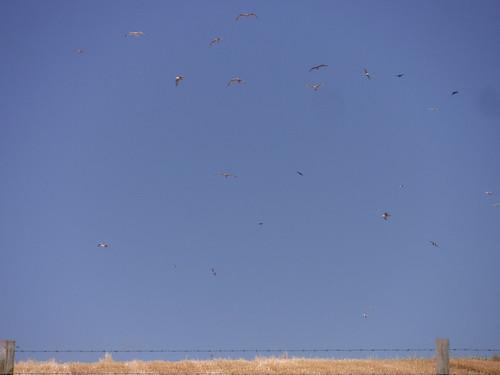 Birds over Field, Martinstown