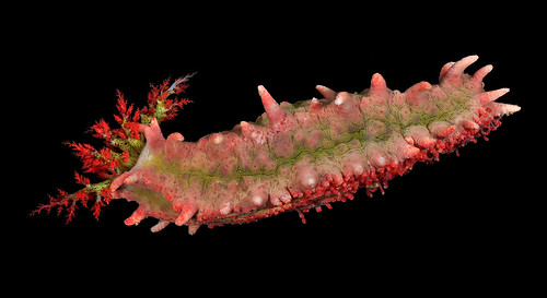 Warty pink sea cucumber (Colochirus quadrangularis)