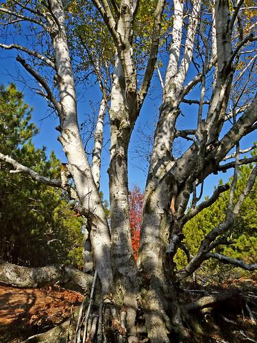 county blue autumn trees sky white color tree fall nature colors forest leland woods october natural outdoor path michigan vibrant scenic panasonic trail birch naturalarea leelenau m22 outdoorbeauty scenicmichigan fz18 scenicsnotjustlandscapes jimflix houdekdunes leelenauconservancy