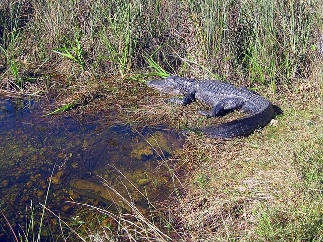 Alligator 20130202