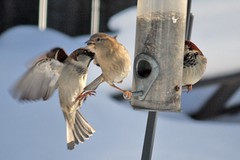 post blizzard feeder frenzy 011