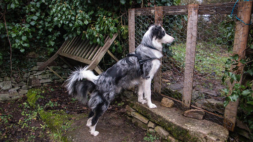 Border watching the chickens