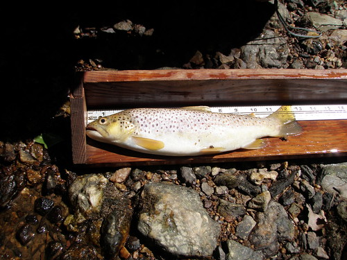 Image of a Brown Trout