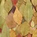 55091.01 Chelone, Stewartia, Betula, Euonymus, Cotinus, Spirea, Fothergilla, Syringa by horticultural art