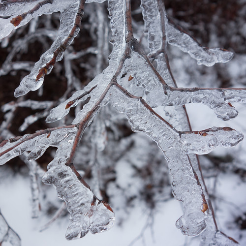 Ice on branches and buds