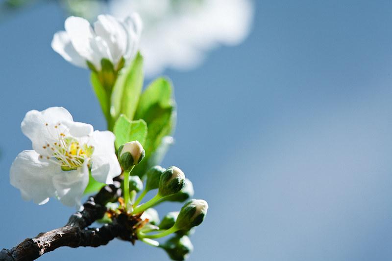 blossoms_8
