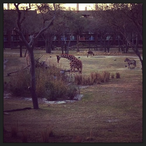 Giraffes and zebras off our balcony