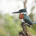 Small photo of Amazon kingfisher (male)