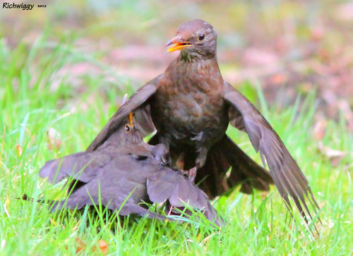 blackbirds fighting IMG_0058