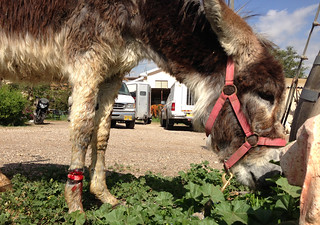Eldad the donkey - injured.