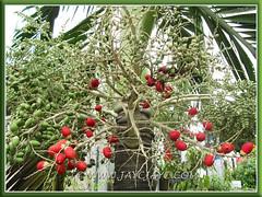 Our Adonidia merrillii (Manila/Christmas Palm), planted at the sidewalk