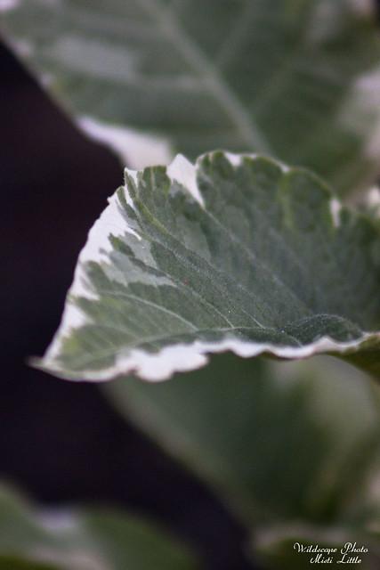 variegated brugmansia
