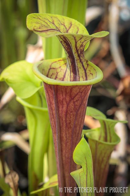 Sarracenia flava var. rubricoropra x flava 'Suspicion'