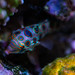 Spotted Mandarin Fish by Blue Lemon Photo