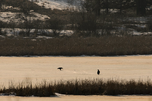 Bald Eagles-45203.jpg