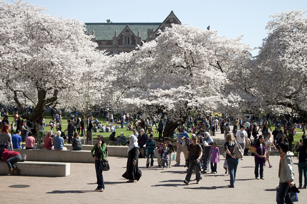 Cherry Blossoms at University of Washington 1