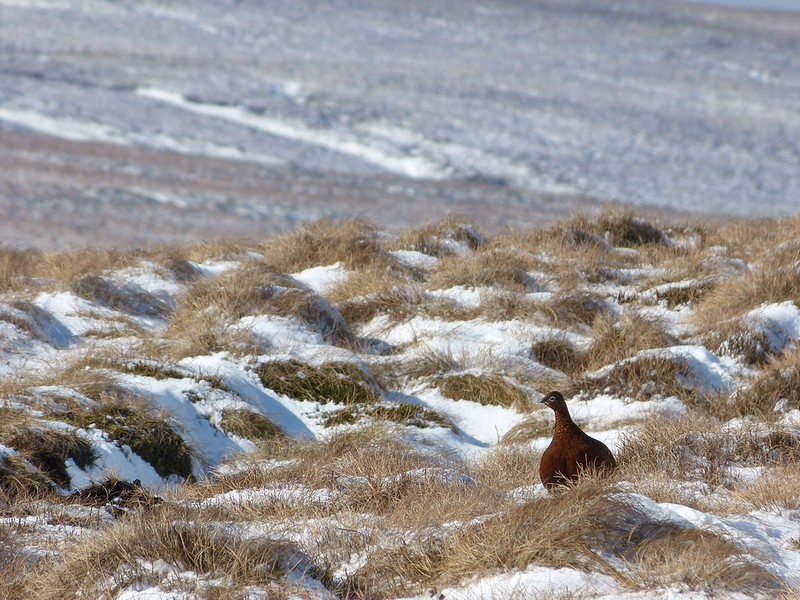 29403 - Red Grouse, Bleaklow