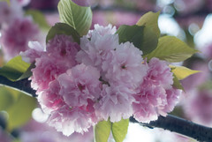 八重桜 - ご近所散歩