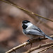 Chickadee by Justin Lo Photography