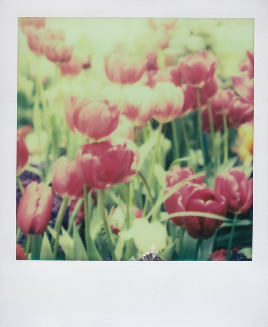 Impossible Tulips