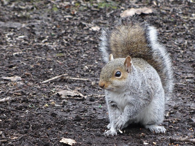 IMG_3353 Grey Squirrel