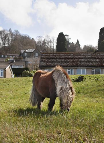 Shetland pony enjoying the sun