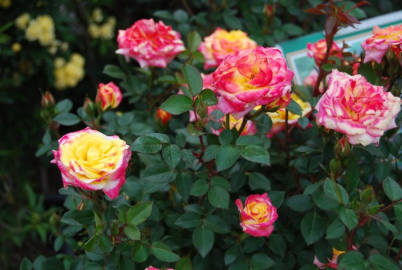 ROSE TREE RAINBOW'S END