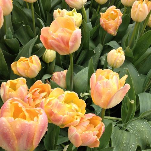 Tulips - peach