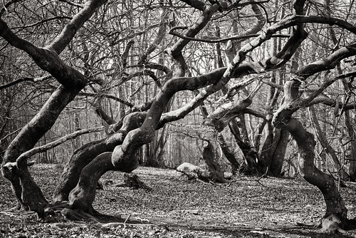 trees winter bw monochrome forest skåne woods nikon sweden creepy toned magical twisted beech d800 bokskogen