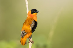 Northern Red Bishop (X67_2470-2)