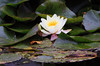 White Water Lilly by Hawkeye2011