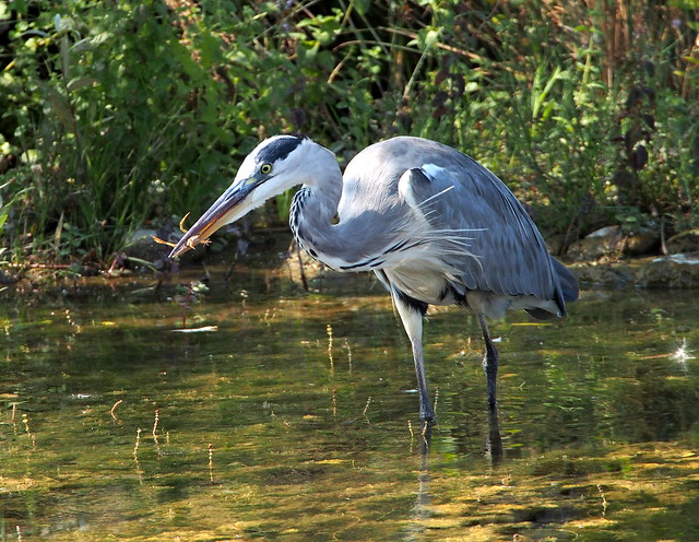 breakfast for the gray heron with a frog