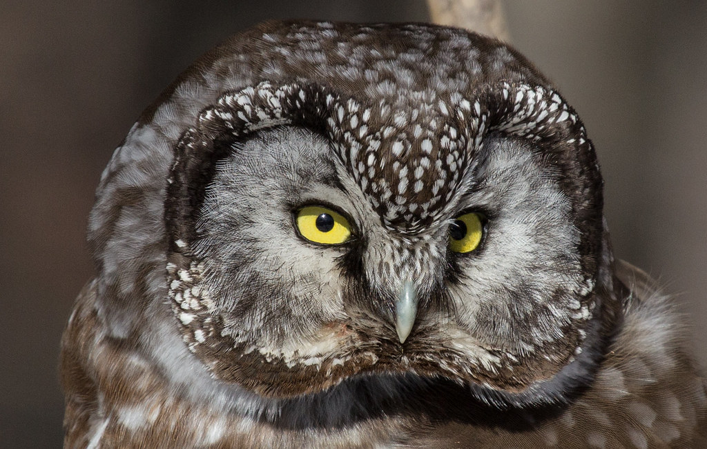 owls essay Anne fadiman's essay discusses the struggles faced by the under -appreciated and stereotyped night owls within society, and justifies their skewed sleeping schedules as well as promotes the benefits that can be gained from utilizing a persons' inner night owl remember that our interaction will be.