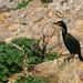 Corvo marinho de crista (Galheta) - Phalacrocorax aristotelis - European Shag