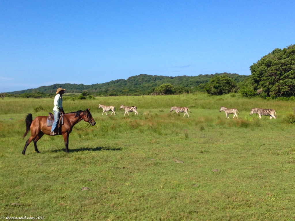 horse safari with zebra