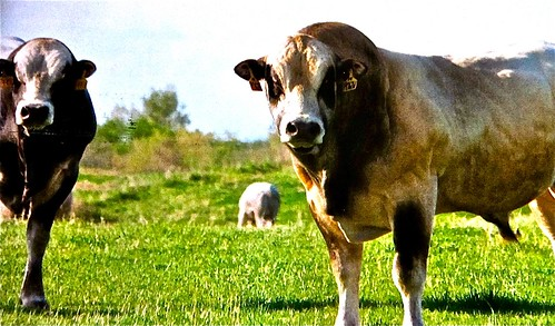 piedmont cattle