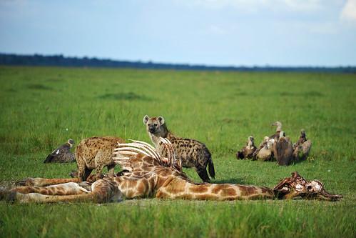 En f d giraff, hyenor och gamar
