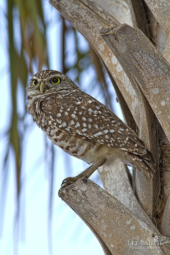 Burrowing Owl in a Palm Tree by smittysholdings