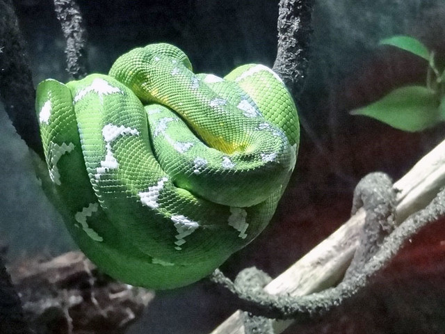 emerald-tree-boa atlanta aquarium
